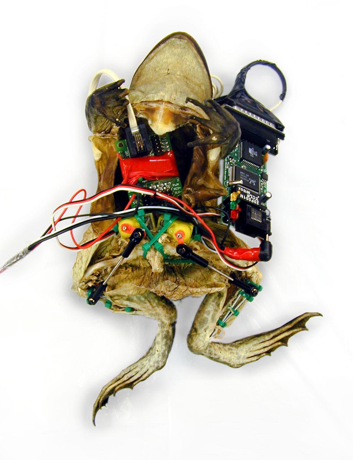 Garnet Hertz - Experiments in Galvanism: Frog with Implanted Webserver